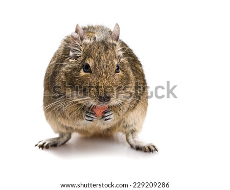 degu mouse gnawing pet food isolated on white background - stock photo