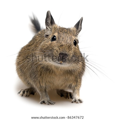 degu pet closeup isolated on white