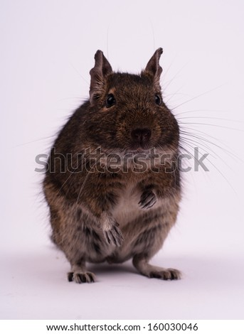 Degu squirrel sitting