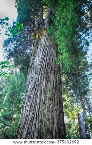 Del Norte Titan sequoia in Grove of Titans, coastal redwood forest near Crescent City, California. Old-growth redwood at Jedediah Smith Redwood State Park. - stock photo
