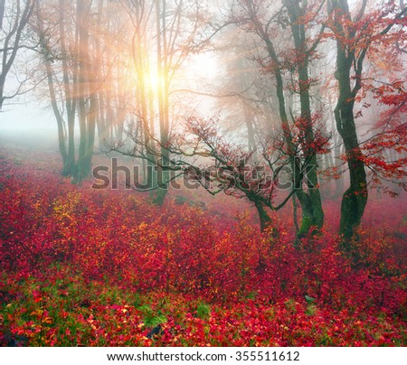Delicate beautiful colors of autumn on a background of wild forests of the Ukrainian Carpathians, artistic haze and the sun's rays shining among the trunks thick carpet of leaves falling on the ground