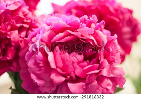 delicate bright pink peonies - stock photo