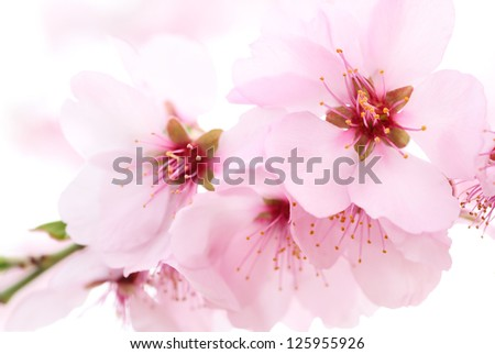 Delicate cherry blossoms closeup with shallow focus and a dreamy mood - stock photo