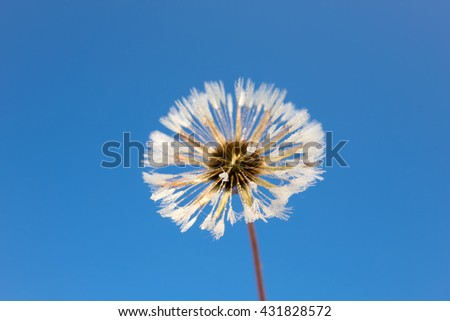 delicate dandelions and sunny sky - stock photo