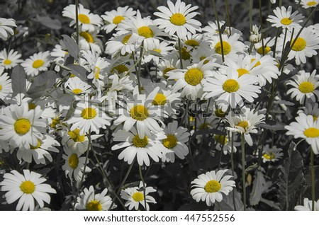 delicate field of daisies - stock photo