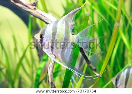 Delicate fish with black stripes in aquarium - stock photo