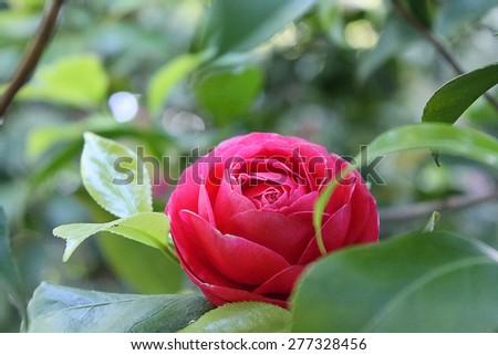 delicate flower camellia. - stock photo