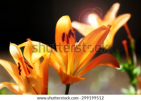 delicate flower fresh garden lily as an ornamental decoration