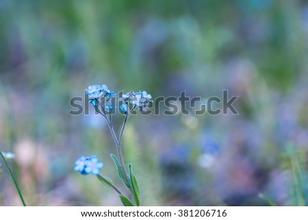 Delicate flower of a wild forget-me-not - stock photo