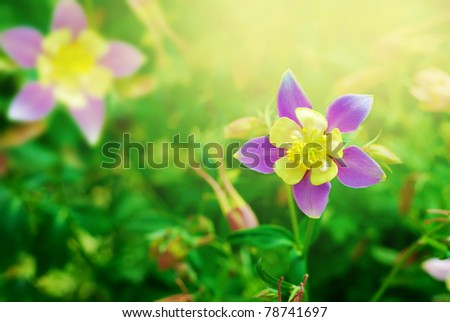 Delicate lilac columbine flower on the floral background - stock photo