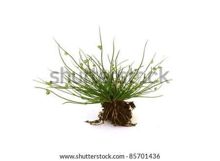 Delicate little moss plant with a bit of earth and roots, isolated over white - stock photo