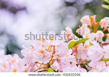 delicate pink buds of rhododendrons on a light background - stock photo