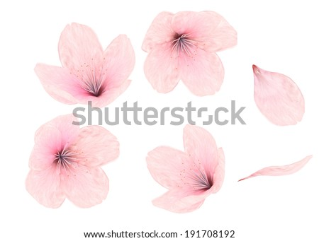 Delicate pink Cherry or almonds blossom isolated on white background - stock photo