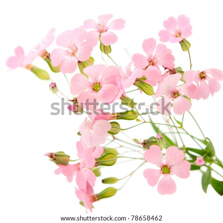 delicate pink flowers on a white background