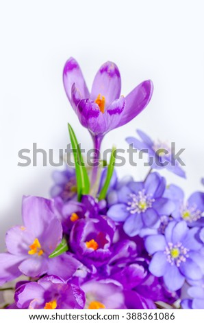 Delicate snowdrop, blue hepatica and purple crocus flowers on white background
