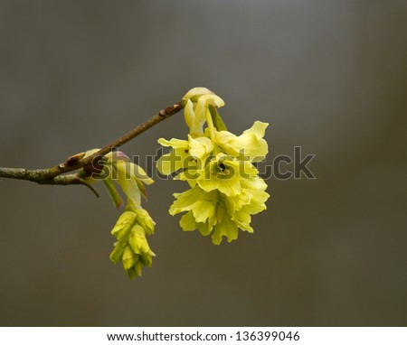 Delicate sweet-smelling yellow flowers of Fragrant Winter Hazel - stock photo