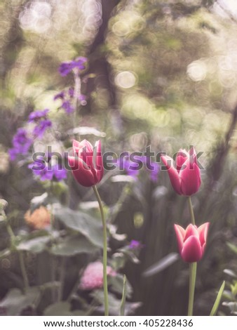 Delicate tulips in a colorful field with a dreamy feeling emphasized by blurriness and vintage filters