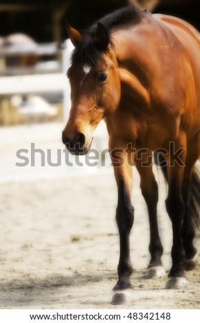 delicate warmblood mare - stock photo