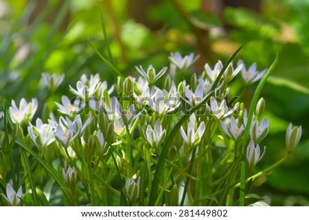 delicate white flower garden on sunny day, backlight - stock photo