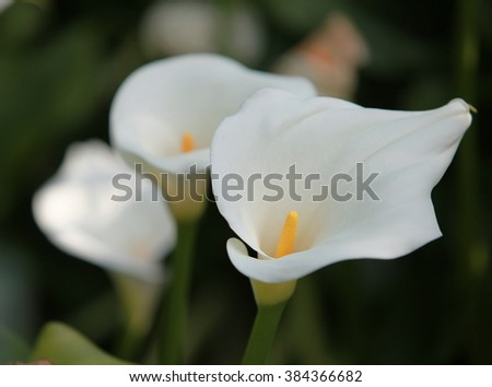 delicate white flowers callas wedding bouquet - stock photo