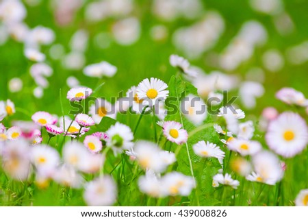 delicate white flowers on a spring meadow - stock photo