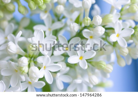 Delicate white lilac branch, closeup photo - stock photo