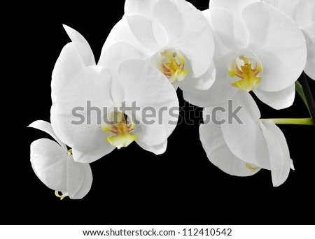 Delicate white orchid flowers on black background