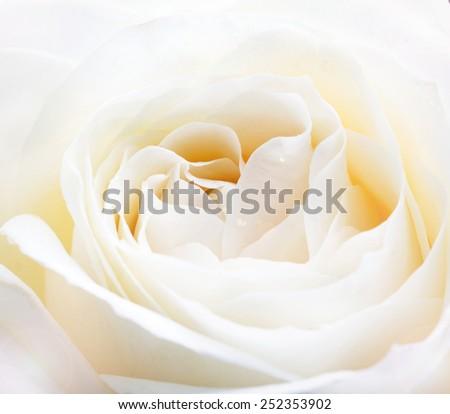 delicate white rose close up image - stock photo