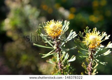 Delicate yellow Banksia flower in Brisbane, Queensland - stock photo