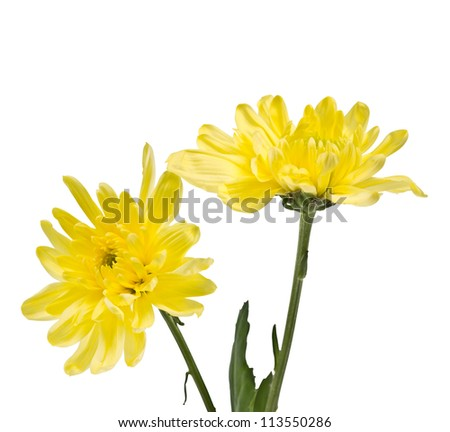 delicate yellow chrysanthemums isolated on white background