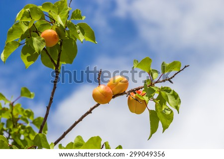 Delicious apricots hanging on a tree branch on sky background