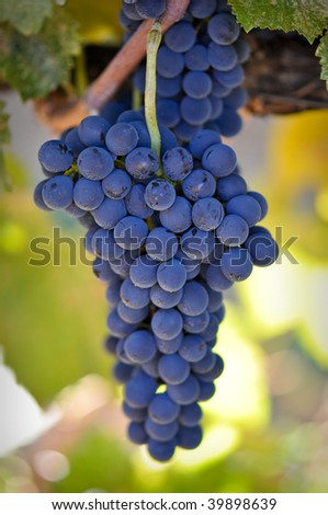 Delicious Red Grapes Hanging from the vine ready to be made into wine - stock photo