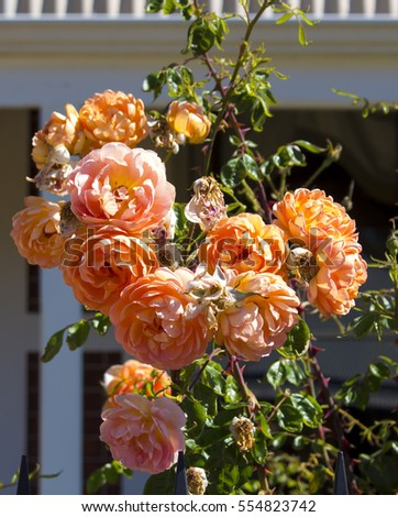 Deliciously   spicy scented   vermilion orange   floribunda roses blooming in summer   are showy and ornamental  adding a  glorious splash of auburn tones to the mid summer garden landscape.