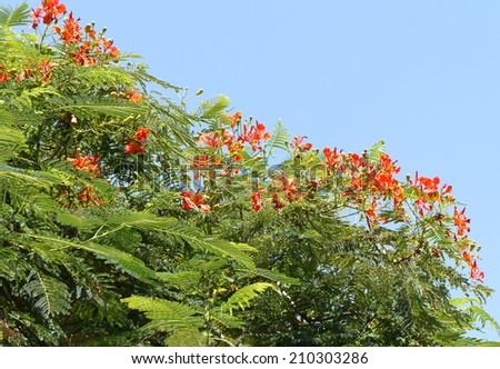 Delonix Regia tree in full blossom - stock photo