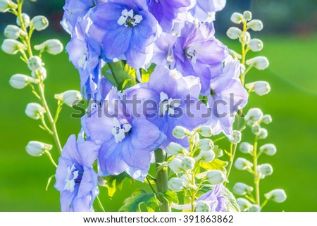 Delphinium 'After Midnight', close up of abundant blue flowers on a single stem
