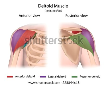 Deltoid Muscle Color Coded Front Back Stock Illustration 228844618 ...