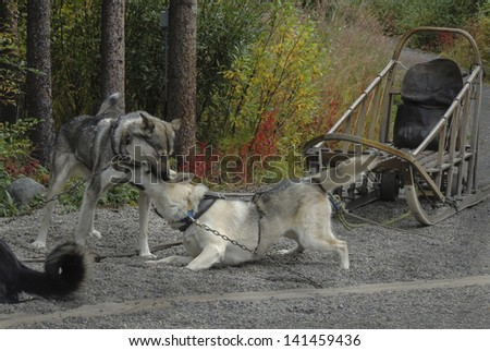 Denali National Park maintains a kennel of sled dogs which during the summer provide demonstrations for park visitors. More importantly their job during the winter is to patrol the park. - stock photo