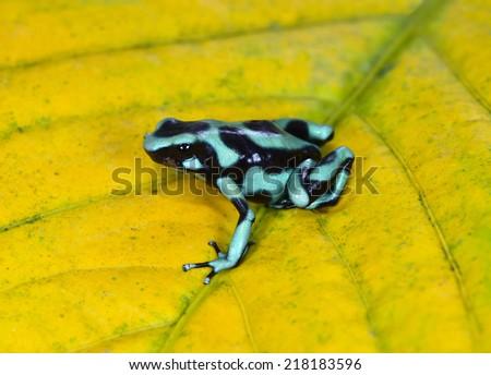 Dendrobates auratus aka green & black poison dart frog or poison arrow frog. sarapiqui, costa rica - stock photo