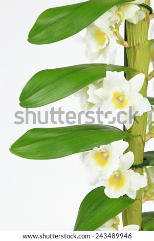 Dendrobium orchid isolated on white background - stock photo