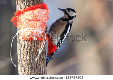 Dendrocopos major, Great spotted woodpecker. Hammer-holding is a common way for the woodpeckers to deal with food items. Female. - stock photo