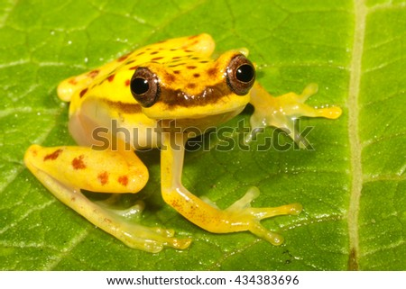 Dendropsophus rhodopeplus is a species of frog in the Hylidae family. - stock photo