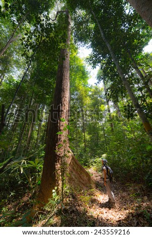 Dense mixed lowland rainforest in Lambir Hills National Park, Borneo, Malaysia. Wide angle view from below. - stock photo