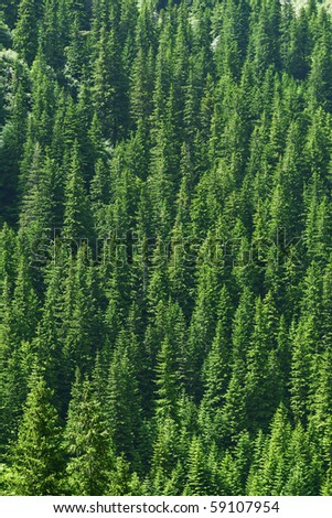 Dense pine trees forest texture - stock photo