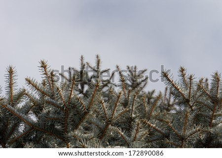 Dense plantation of small pine or fir trees with a view to the tops of the trees under a clear blue sunny sky - stock photo