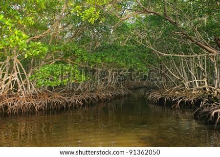 Dense Red Mangroves in Caribbean - stock photo