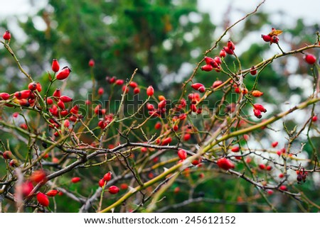 Dense rosehip bush with many ender ripe vivid red berries on blurred bokeh background - stock photo
