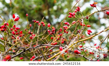 Dense rosehip bush with many tender ripe bright red berries on blurred bokeh background - stock photo