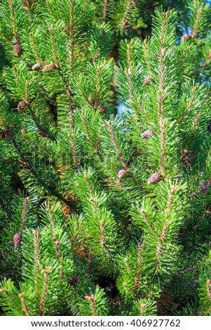 dense young pine cones close up vertical shot - stock photo