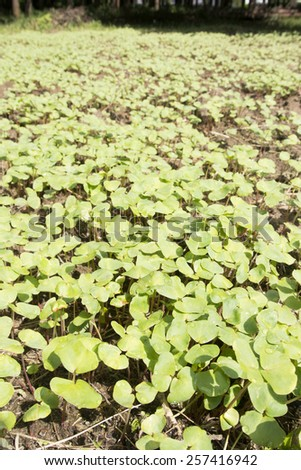 Densely germinated buck wheat field in autumn - stock photo