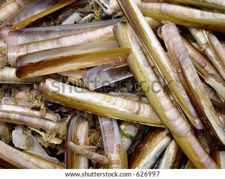 Deposit of razor shells - stock photo